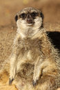 Meerkat looking at you Stock Photography