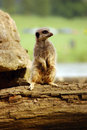 Meerkat lookout Stock Photos