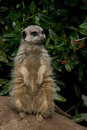 Meerkat on the lookout Stock Photography