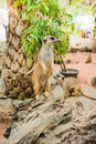 Meerkat the love of animals help make the world seem beautiful Stock Photography