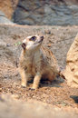 Meerkat meerkats are comical social mongooses widely distributed throughout southern africa Royalty Free Stock Photo