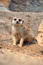 Meerkat meerkats are comical social mongooses widely distributed throughout southern africa Royalty Free Stock Photography