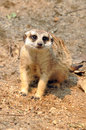 Meerkat meerkats are comical social mongooses widely distributed throughout southern africa Stock Photography
