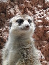 Meerkat at the national zoo Royalty Free Stock Image