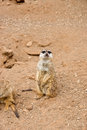 Meerkat near the hole in his natural habitat Stock Image