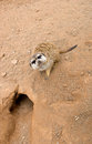 Meerkat near the hole in his natural habitat Stock Photos