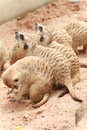 Meerkat in the open zoo group of meerkats Royalty Free Stock Images