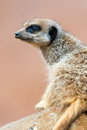 Meerkat portrait against a blurred pink background Stock Photos