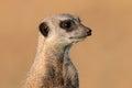 Meerkat portrait Royalty Free Stock Photo