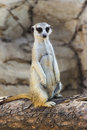 Meerkat posing on a Log Royalty Free Stock Photo