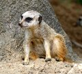 A Meerkat Rest In The Shade