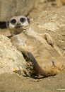 Meerkat resting on the sun and looking directly in camera Stock Images