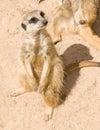Meerkat on sand Stock Photos