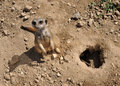 Meerkat in the Sand Stock Images