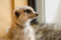 Meerkat seeing something and looking outside Stock Photo