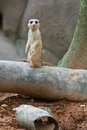 Meerkat Sentry Royalty Free Stock Photography