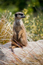 Meerkat sentry Royalty Free Stock Photo