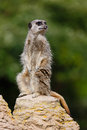 Meerkat sentry Royalty Free Stock Photos
