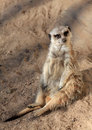 Meerkat Sentry Seated at Colony Entrance Royalty Free Stock Images