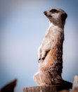Meerkat sentry a stand alert checking for predators Royalty Free Stock Images