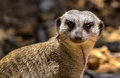 A meerkat showing a very inquisitive expression or suricate suricata suricatta related to the mongoose family in south africa Royalty Free Stock Image