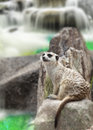 Meerkat sit with water fall background Royalty Free Stock Photo