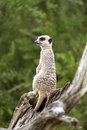 Meerkat sitting alert and looking around Royalty Free Stock Photo