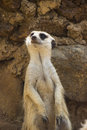 Meerkat sitting portrait a close up of a Royalty Free Stock Photography