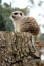 Meerkat sitting on stump looking away Royalty Free Stock Photo
