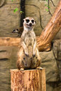 Meerkat sitting upright portrait of a female in a zoo Royalty Free Stock Photos