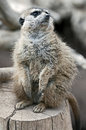 Meerkat slender tailed latin name suricata suricatta Royalty Free Stock Photo