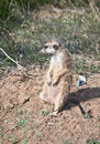 Meerkat small nimble animal mongoose family in zoo enclosure Royalty Free Stock Images