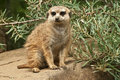 Meerkat stand guard standing on a stone Stock Images