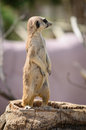 Meerkat stand vigilant on trunk in a zoo Stock Images