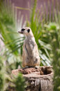 Meerkat stand vigilant on trunk in a zoo Stock Photos