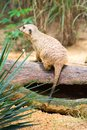 A Meerkat standing on a branch guarding its territory Royalty Free Stock Photo