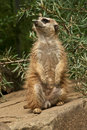 Meerkat standing guard on a stone Royalty Free Stock Image