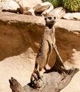 Meerkat standing on log Royalty Free Stock Photo