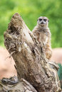 Meerkat standing on a log Royalty Free Stock Photo