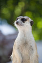 Meerkat standing on the sand Stock Photos