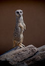 Meerkat standing sentry african watching for danger Royalty Free Stock Images