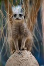 Meerkat Standing on sentry duty Royalty Free Stock Image