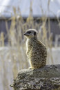 Meerkat standing on sentry duty, Selective focus against blurred Royalty Free Stock Photo