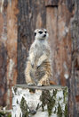 Meerkat standing on stump Royalty Free Stock Photo