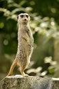 Meerkat standing on stump tree Royalty Free Stock Photo