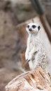 Meerkat standing on a tree stump Royalty Free Stock Photo