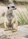 A meerkat standing upright Royalty Free Stock Photo