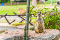 Meerkat standing upright on a large rock Royalty Free Stock Photos