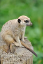A meerkat standing upright and looking alert Royalty Free Stock Image
