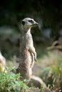 Meerkat standing upright Royalty Free Stock Photo
